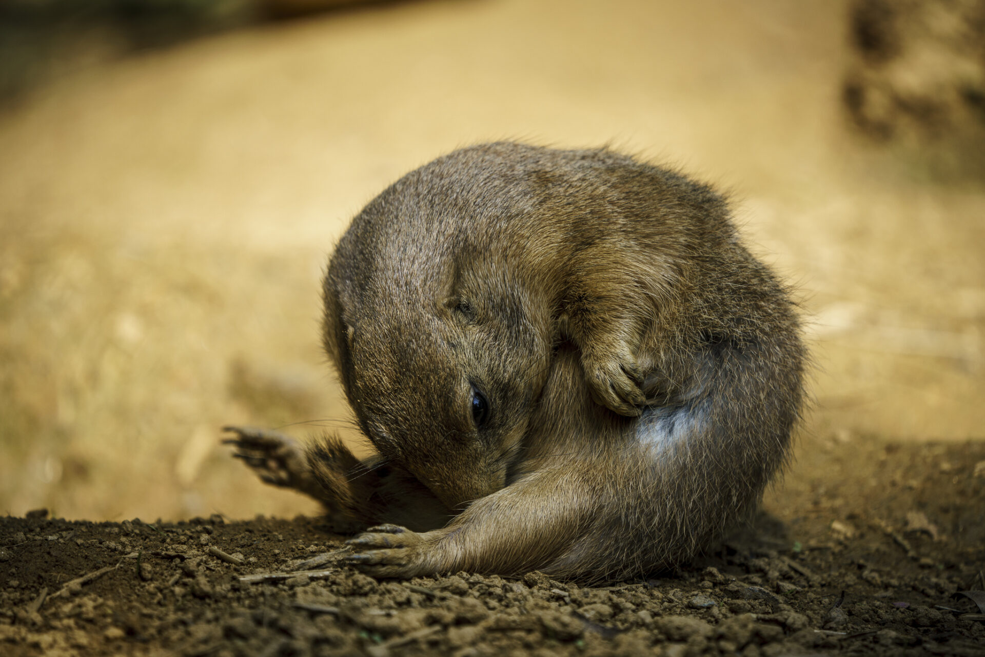Prairie Dog Licks Itself at National Zoo